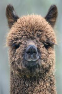 No eating alpacas on this food tour!